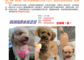 5000元寻狗,贵宾,母,7岁,未生育