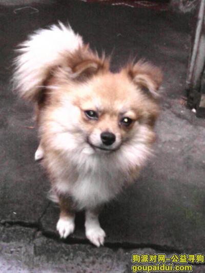 ,急寻一只棕黄色母狗乐乐,它是一只非常可爱的宠物狗狗,希望它早日回家,不要变成流浪狗。