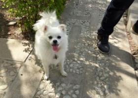 寻狗启示,寻狗启示  白色博美,它是一只非常可爱的宠物狗狗,希望它早日回家,不要变成流浪狗。