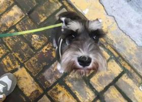 寻狗启示,济宁寻狗!黑色雪纳瑞,它是一只非常可爱的宠物狗狗,希望它早日回家,不要变成流浪狗。