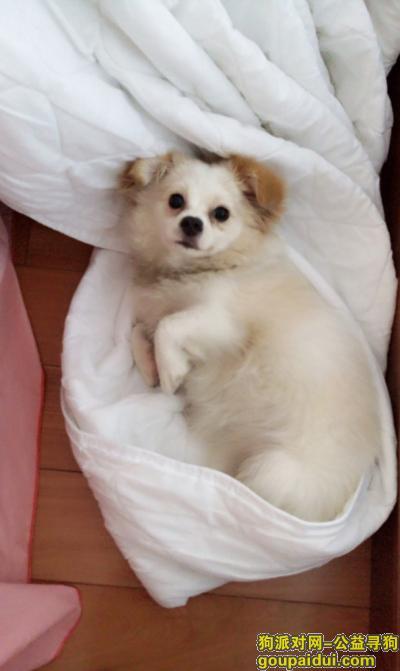 舟山寻狗网,寻找一只白色宠物狗,肉嘟嘟的,有博美血统,但不是纯种博美,急!,它是一只非常可爱的宠物狗狗,希望它早日回家,不要变成流浪狗。