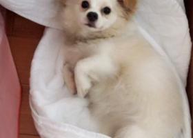 寻狗启示,寻找一只白色宠物狗,肉嘟嘟的,有博美血统,但不是纯种博美,急!,它是一只非常可爱的宠物狗狗,希望它早日回家,不要变成流浪狗。