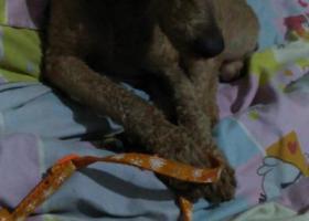 寻狗启示,30号那天在新港城十字捡到一只泰迪狗,它是一只非常可爱的宠物狗狗,希望它早日回家,不要变成流浪狗。
