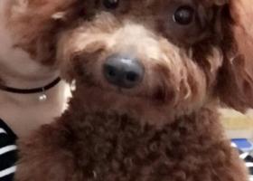 寻狗启示,麻麻寻找爱犬芒果    深咖色泰迪,它是一只非常可爱的宠物狗狗,希望它早日回家,不要变成流浪狗。