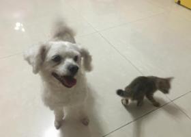 卢比!白色小型贵宾母犬