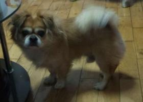 寻找狗狗,黄色小胖狗2016年11月6日晚在北甸街附近走失