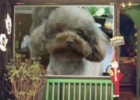 寻狗启示,11.8发的贵宾已找到!,它是一只非常可爱的宠物狗狗,希望它早日回家,不要变成流浪狗。