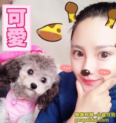 【北京找狗】,上庄寻灰色母泰迪!!!,它是一只非常可爱的宠物狗狗,希望它早日回家,不要变成流浪狗。