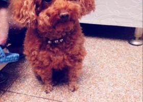 寻狗启示,好心人 帮帮忙 连云港新浦走失泰迪一只 浅棕色毛 带一串铃铛,它是一只非常可爱的宠物狗狗,希望它早日回家,不要变成流浪狗。