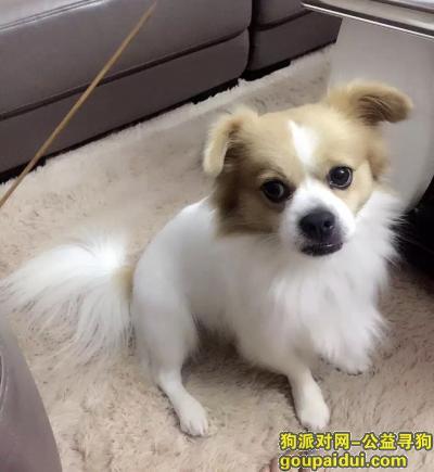 【海口找狗】,重金寻狗,丢失一条白色短毛蝴蝶犬,它是一只非常可爱的宠物狗狗,希望它早日回家,不要变成流浪狗。