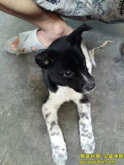 【重庆找狗】,寻狗启示     黑白小花狗,它是一只非常可爱的宠物狗狗,希望它早日回家,不要变成流浪狗。