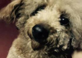 寻狗启示,捡到一只香槟色带一点棕色的贵宾,它是一只非常可爱的宠物狗狗,希望它早日回家,不要变成流浪狗。