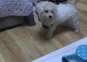寻狗启示,祥和万隆丢失白色比熊,它是一只非常可爱的宠物狗狗,希望它早日回家,不要变成流浪狗。