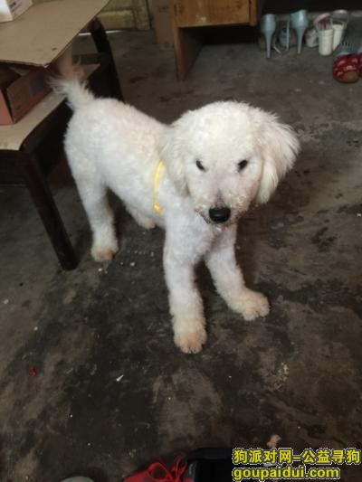 绍兴捡到狗,11月3日儿童公园旁捡到10个月比熊犬一只,纯白,急需找主人,有愿意收养的也可以,电话18358506166,它是一只非常可爱的宠物狗狗,希望它早日回家,不要变成流浪狗。