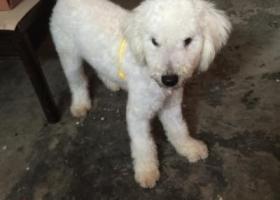 寻狗启示,11月3日儿童公园旁捡到10个月比熊犬一只,纯白,急需找主人,有愿意收养的也可以,电话18358506166,它是一只非常可爱的宠物狗狗,希望它早日回家,不要变成流浪狗。