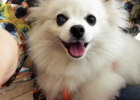 寻狗启示,寻找在南充通达街遗失的白色博美主人,它是一只非常可爱的宠物狗狗,希望它早日回家,不要变成流浪狗。