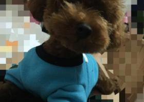 棕色泰迪小体 穿了一件蓝色衣服