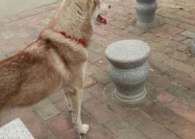 寻狗启示,谁家丢的狗狗 帮狗狗回家,它是一只非常可爱的宠物狗狗,希望它早日回家,不要变成流浪狗。