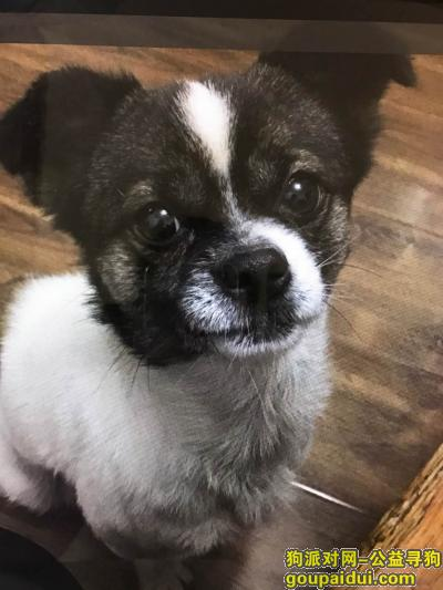 ,寻找大宝皮皮,好人上天会眷顾你们的,它是一只非常可爱的宠物狗狗,希望它早日回家,不要变成流浪狗。