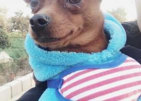 寻狗启示,咖啡于16年11月18日丢失,请好心人帮忙寻找,必有重谢,它是一只非常可爱的宠物狗狗,希望它早日回家,不要变成流浪狗。