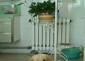 寻狗启示,德州齐河丢失金毛爱犬一只,它是一只非常可爱的宠物狗狗,希望它早日回家,不要变成流浪狗。