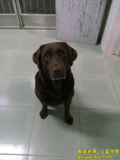 大丰寻狗网,丢失一只咖啡色拉布拉多,它是一只非常可爱的宠物狗狗,希望它早日回家,不要变成流浪狗。
