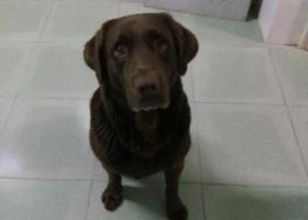 寻狗启示,丢失一只咖啡色拉布拉多,它是一只非常可爱的宠物狗狗,希望它早日回家,不要变成流浪狗。