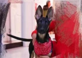 寻狗启示,酬金1000寻德牧串串,它是一只非常可爱的宠物狗狗,希望它早日回家,不要变成流浪狗。