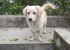 寻狗启示,寻找一只白色的小型犬,它是一只非常可爱的宠物狗狗,希望它早日回家,不要变成流浪狗。