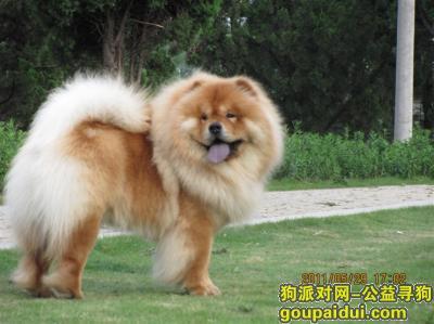六安找狗,安徽省六安市裕安区大唐美林湾附近寻松狮犬一只,它是一只非常可爱的宠物狗狗,希望它早日回家,不要变成流浪狗。
