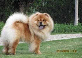寻狗启示,安徽省六安市裕安区大唐美林湾附近寻松狮犬一只,它是一只非常可爱的宠物狗狗,希望它早日回家,不要变成流浪狗。