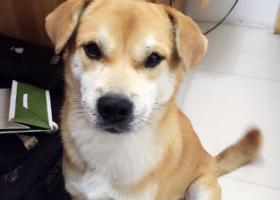寻狗启示,寻找大黄狗 上海闵行,它是一只非常可爱的宠物狗狗,希望它早日回家,不要变成流浪狗。
