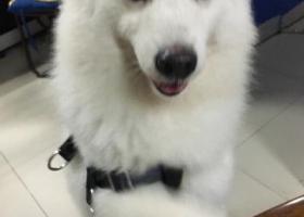 重金寻找7个月大的萨摩耶犬