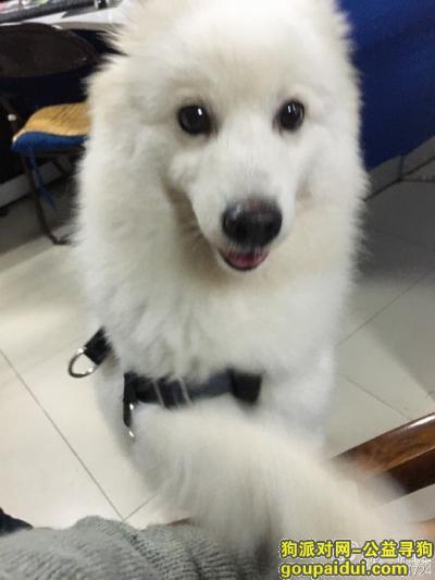 【南通找狗】,重金南通通州寻萨摩耶犬,求扩散,它是一只非常可爱的宠物狗狗,希望它早日回家,不要变成流浪狗。