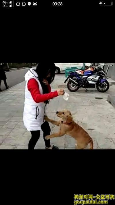 ,寻狗启示 金毛 五个月大,它是一只非常可爱的宠物狗狗,希望它早日回家,不要变成流浪狗。