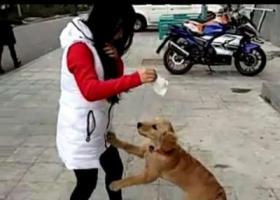 寻狗启示 金毛 五个月大