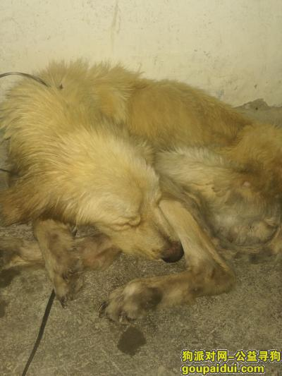 捡到一只大金毛公狗但是很瘦脏兮兮的应该走丢好久了吧,它是一只非常可爱的宠物狗狗,希望它早日回家,不要变成流浪狗。