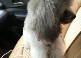 寻狗启示,泰迪灰贵想回家望知情者联系13480968056,它是一只非常可爱的宠物狗狗,希望它早日回家,不要变成流浪狗。