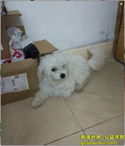 寻狗启示,番禺南村镇板桥村人人佳超市附近寻狗,白色比熊,它是一只非常可爱的宠物狗狗,希望它早日回家,不要变成流浪狗。