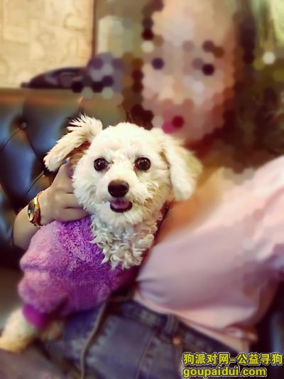 寻狗启示,金堂县又新镇牛角店小区附近寻狗,  白色泰迪,它是一只非常可爱的宠物狗狗,希望它早日回家,不要变成流浪狗。