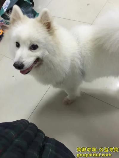 寻狗启示,江苏省南通市通州区 四安镇龙坝村龙坝路寻萨摩,它是一只非常可爱的宠物狗狗,希望它早日回家,不要变成流浪狗。