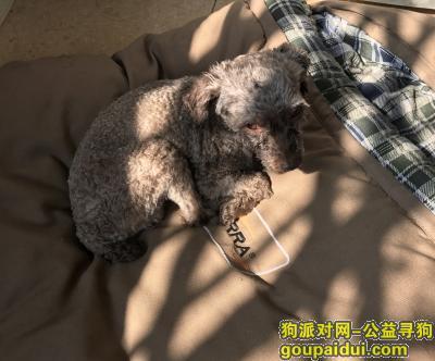 寻狗启示,广州天河寻狗 11月28日遗失巧克力色贵宾一只,它是一只非常可爱的宠物狗狗,希望它早日回家,不要变成流浪狗。
