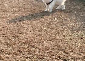 寻狗启示,我的宝贝。公狗 我五岁 品种萨摩耶,它是一只非常可爱的宠物狗狗,希望它早日回家,不要变成流浪狗。