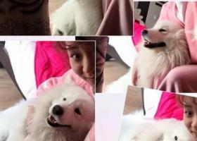 寻狗启示,萨摩耶 公 五岁。养于喇叭口新永联路康麦隆电器院内,它是一只非常可爱的宠物狗狗,希望它早日回家,不要变成流浪狗。