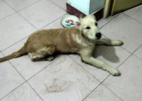 寻狗狗主人,捡到一只金毛狗狗,5个月大