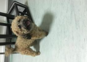 寻狗启示,捡到泰迪狗白鹿影城附近,它是一只非常可爱的宠物狗狗,希望它早日回家,不要变成流浪狗。