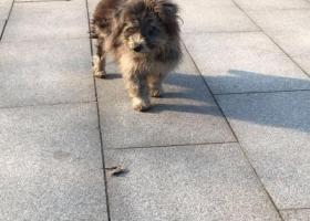 寻狗启示,看到一只灰色狗,在中山陵,它是一只非常可爱的宠物狗狗,希望它早日回家,不要变成流浪狗。