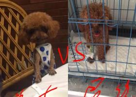 寻狗启示,合肥10000元寻泰迪狗!!急!!,它是一只非常可爱的宠物狗狗,希望它早日回家,不要变成流浪狗。