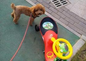 寻狗启示,商贸城5区对面诚信二区泰迪丢失,它是一只非常可爱的宠物狗狗,希望它早日回家,不要变成流浪狗。