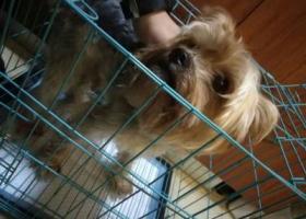 上海长宁区捡到雪纳瑞狗狗、寻主